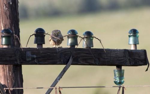 Owl-telegraph-pole_2172405k